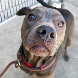 Sunni, an adoptable pit bull