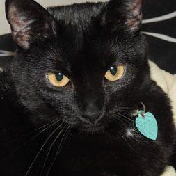 Stella Luna, a domestic shorthair cat