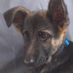 Cooper, a German Shepherd