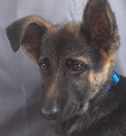 Cooper, a German Shepherd