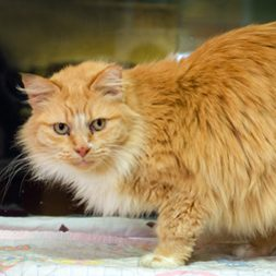 Goldie, an adoptable cat