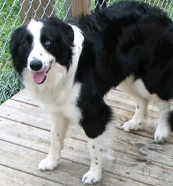 Border Collies like Shadow, an adoptable dog in Arkansas, were subjects in the study.