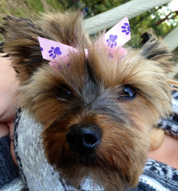 Happy Tail A Yorkie Offers Comfort And Joy Petfinder