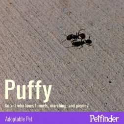 Puffy the Ant - April Fools