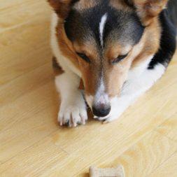 Dog Stares at Treat