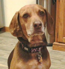 "Penny stands proud in her ""pink ribbon"" collar to support breast cancer awareness."