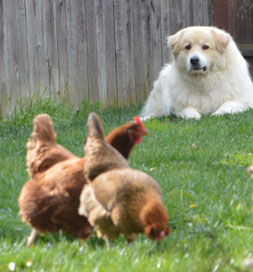 Conan looks after his chickens.