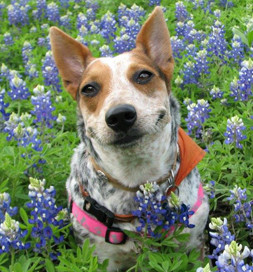 Middy poses in a field of bluebonnets.