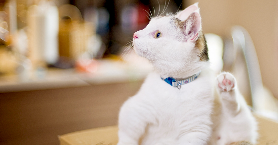 how to help your cat with grooming petfinder