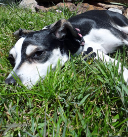 Twix flops down and rolls in the grass when he goes outside.