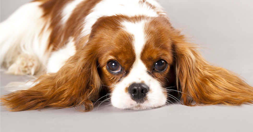 Cavalier King Charles Spaniel lying on the floor
