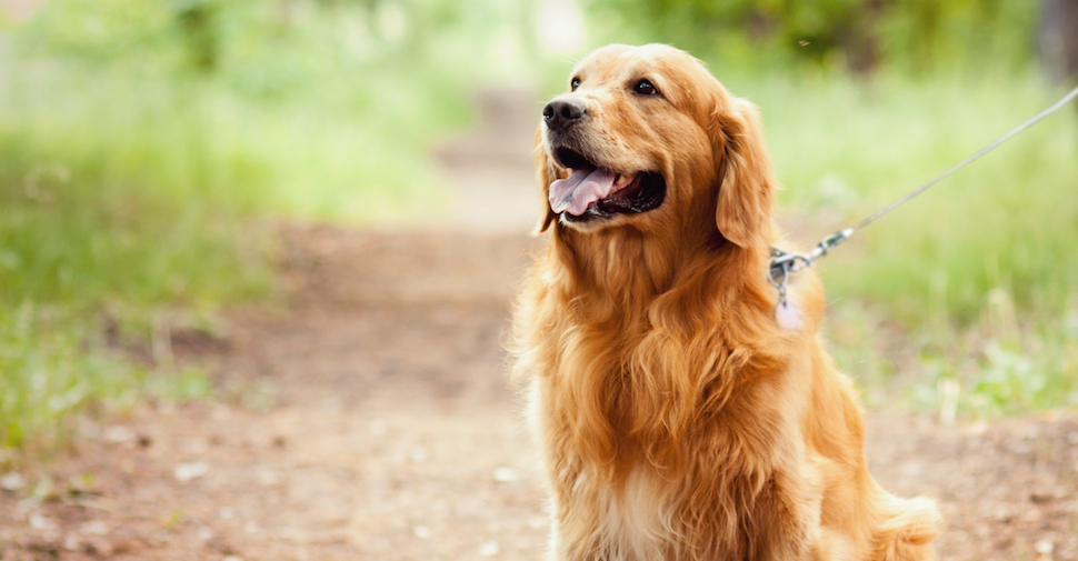 Golden Retriever dog on a trail outside