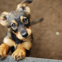 One of the tan and black puppies for adoption at an animal shelter or rescue group.