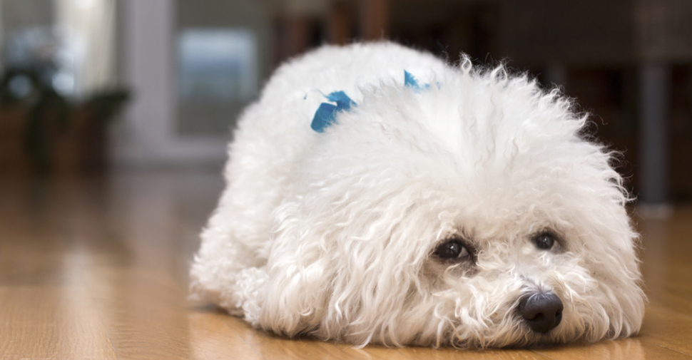 White Bichon Frise puppy lying on hardwood floor