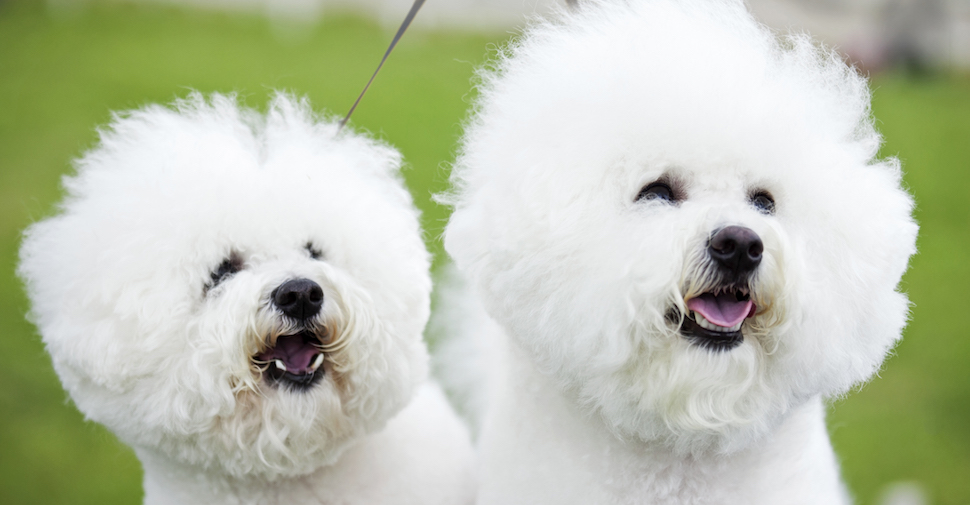 Two small Bichon Frise dogs with white, fluffy, curly fur