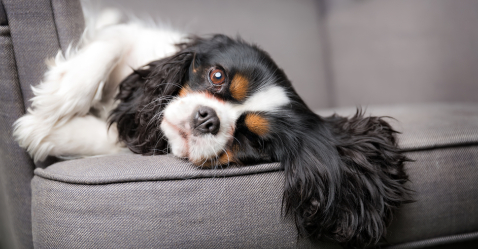 Small Cavalier King Charles Spaniel with brown, black and white fur, lying on a sofa
