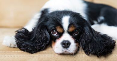 Black and brown Cavalier King Charles