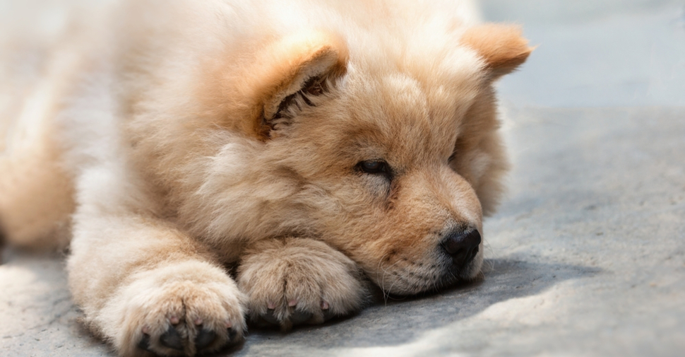 Light brown Chow Chow lying on a concrete
