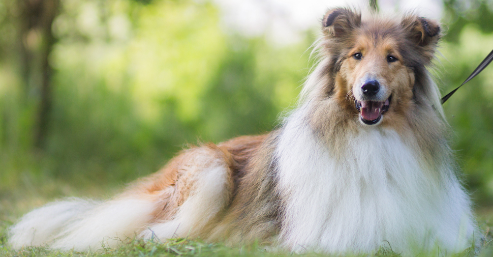Fluffy large breed, tan and white Collie adult dog laying on green grass.