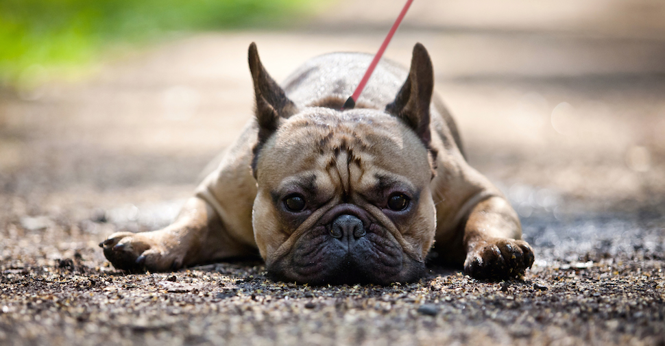 Brown French Bulldog with pointed ears and smooshed-in face
