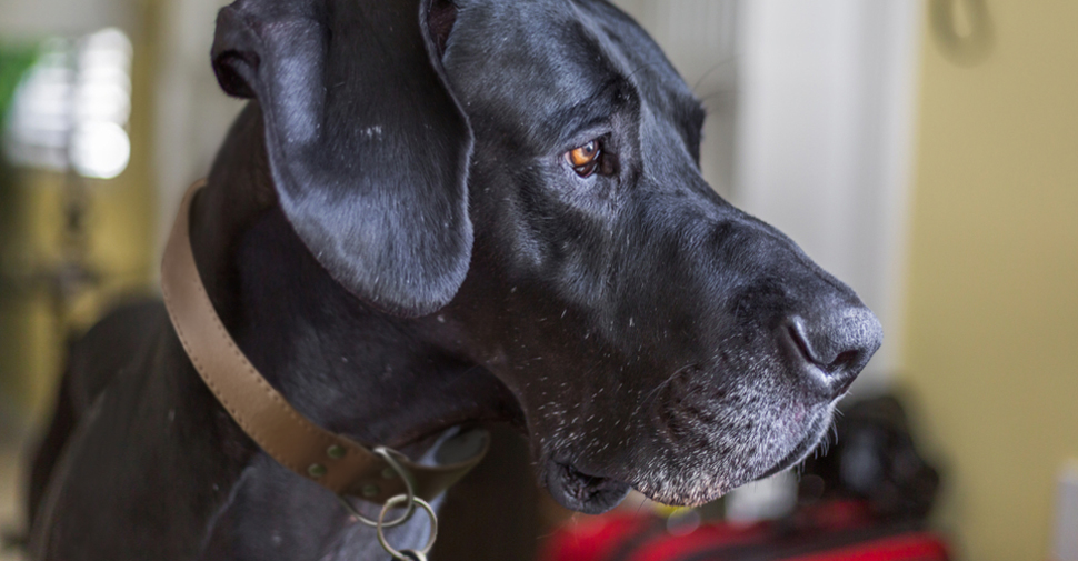Close up of black, giant dog breed Great Dane with gray muzzle turned sideways.
