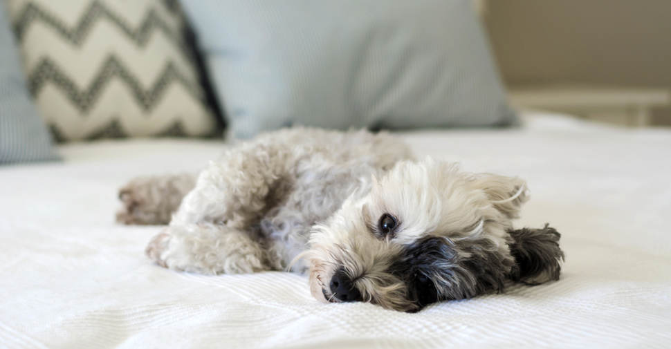 Black and white Havanese puppy resting on a comfy white bed with pillows in the background.