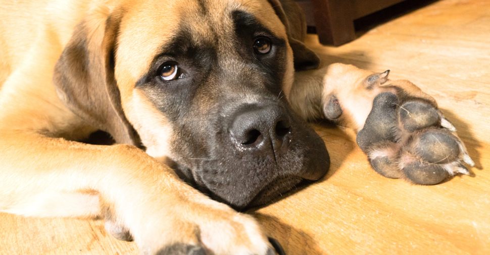 Brown Mastiff with giant paws, lying on a natural wood floor