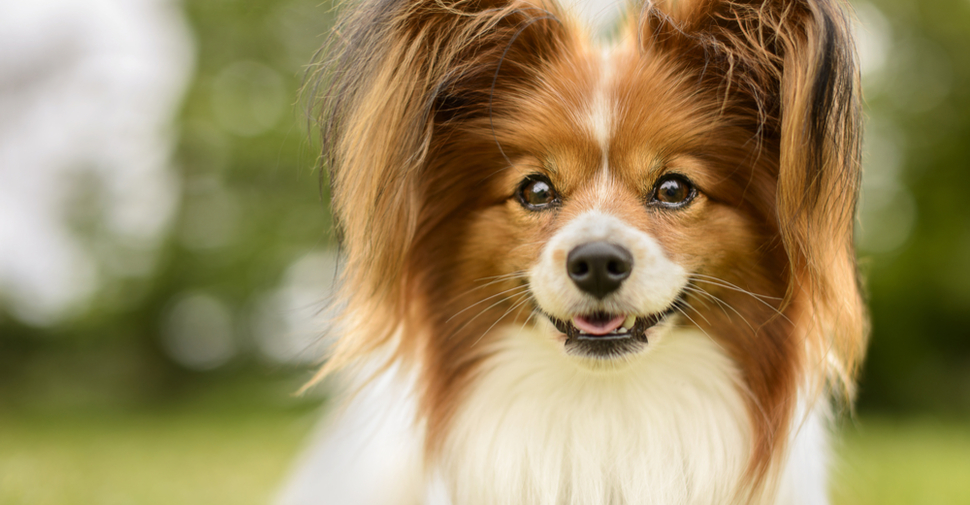 Happy-looking Papillon with long brown and white fur and tufted ears
