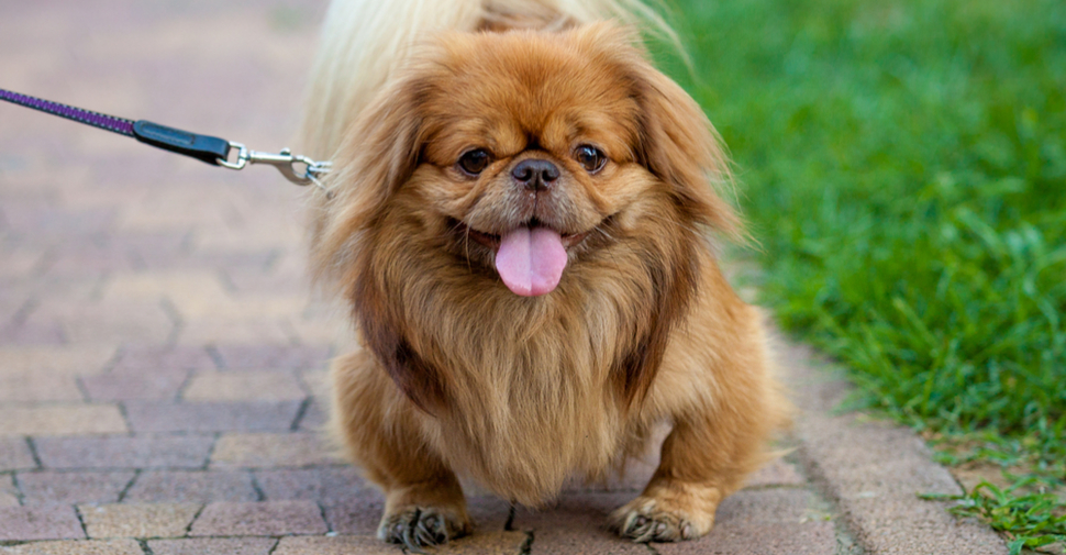 Who S Who Of The Small Dog Breeds Petfinder
