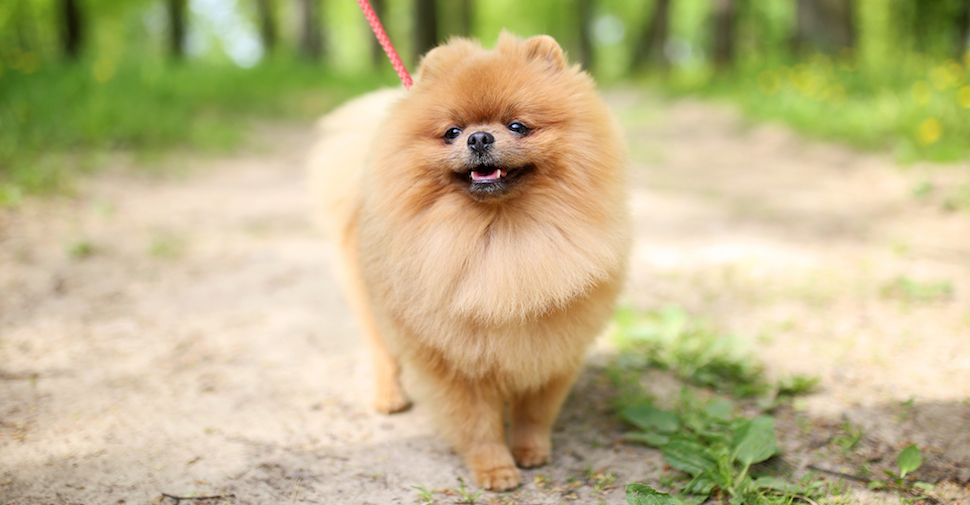 Small, fluffy brown Pomeranian outside on a trail