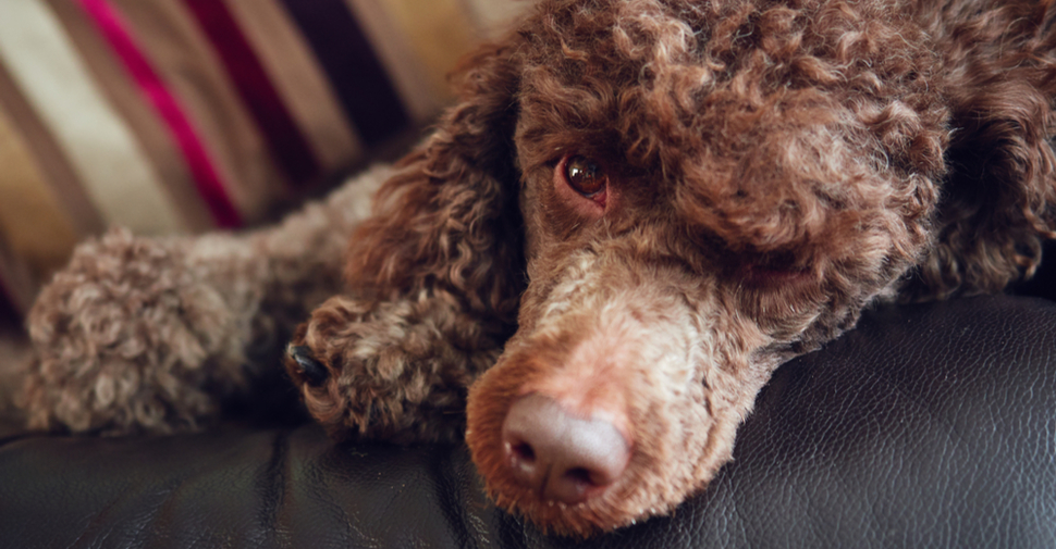 Brown Poodle lying on a couch