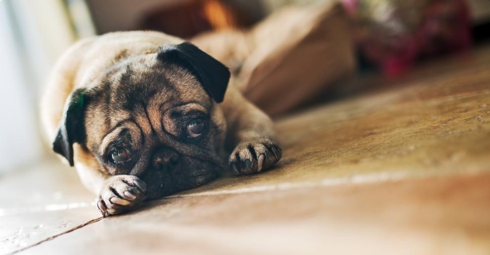 Cute Pug dog lying on hardwood floor