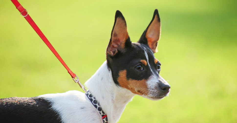 Alert Rat Terrier with pointy ears and nose, and a short black, white and brown