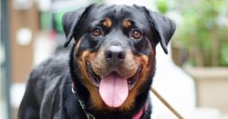 Happy Rottweiler Dog on a walk
