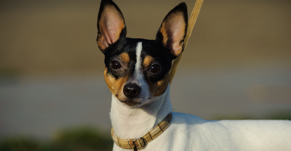 Toy Fox Terrier with pointy ears and nose, looking at camera