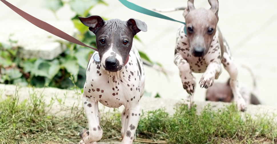 Small, hairless dark gray and white and brown and white spotted dogs running outdoors and jumping over patches of long grass.