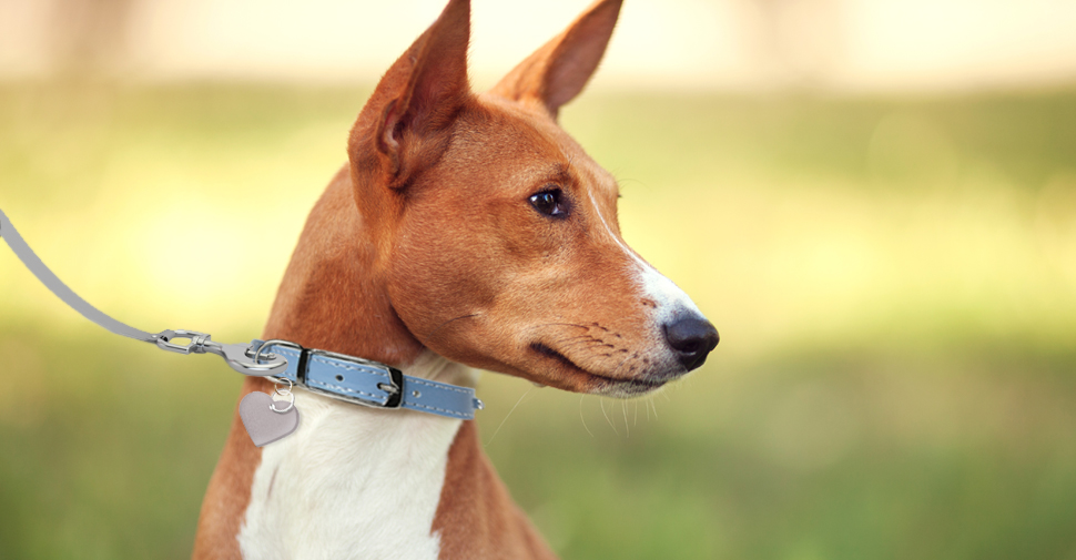 Hypoallergenic tan and white Basenji dog outdoors facing sideways.