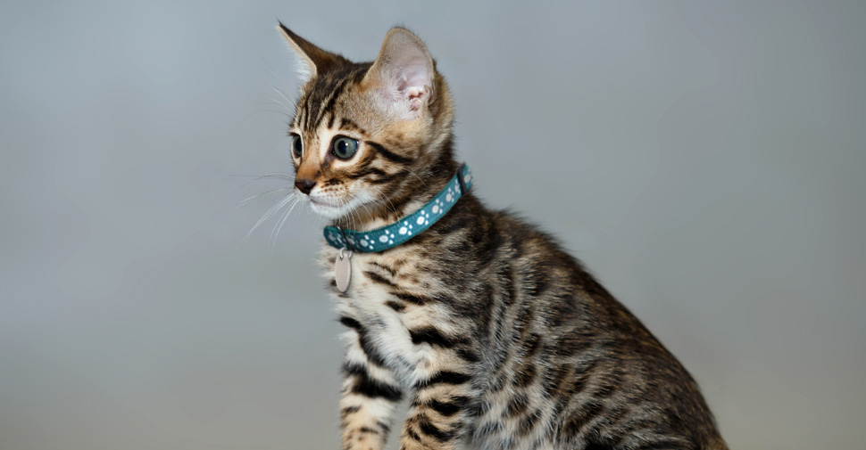 Cute Bengal kitten, ready to play