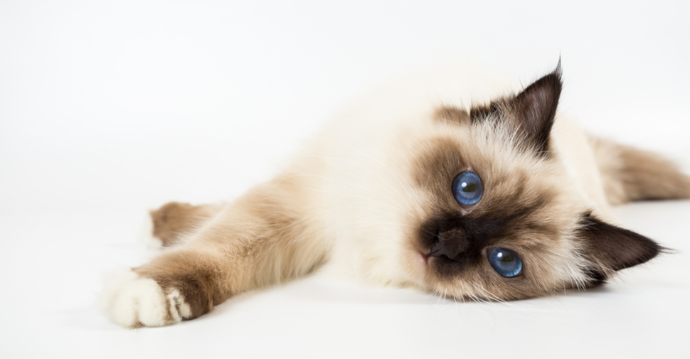 Cute, fluffy Birman kitten