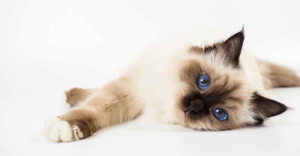 Cute, fluffy Birman kitten