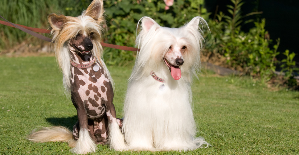 Three hairless gray and white skin tone Chinese Crested dogs sitting together on green grass.