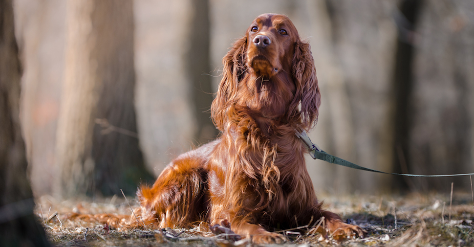 Long-haired Irish Setter, lying on a trail outside