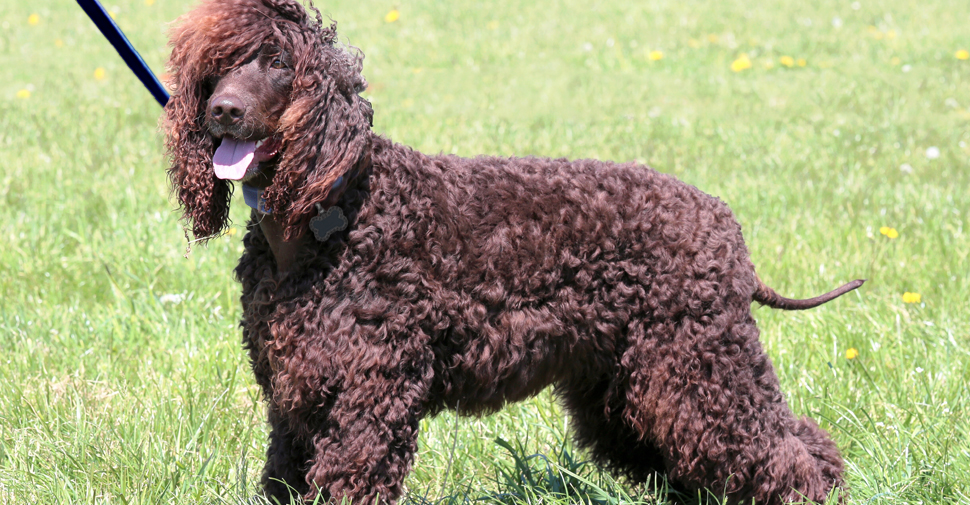 Medium size, brown hypoallergenic Irish Water Spaniel dog standing on grass.