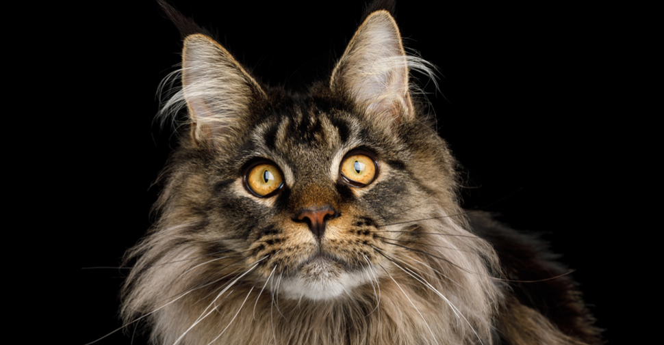 Fluffy Main Coon cat with pointed ears, and intense yellow eyes