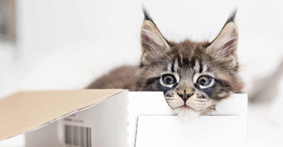 Cute Maine Coon kitten in a cardboard box