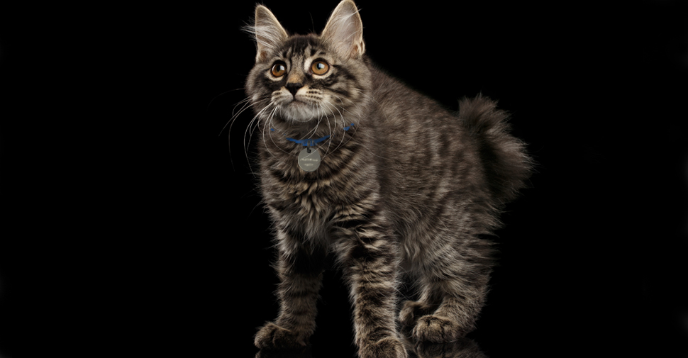 Long-haired, fluffy Manx cat with a short bob tail.