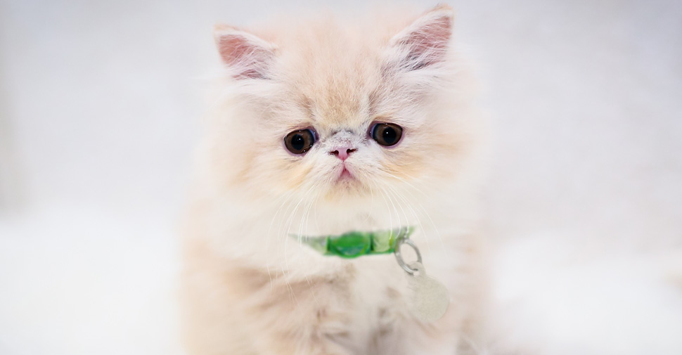 Cute, fluffy Persian kitten on a white rug