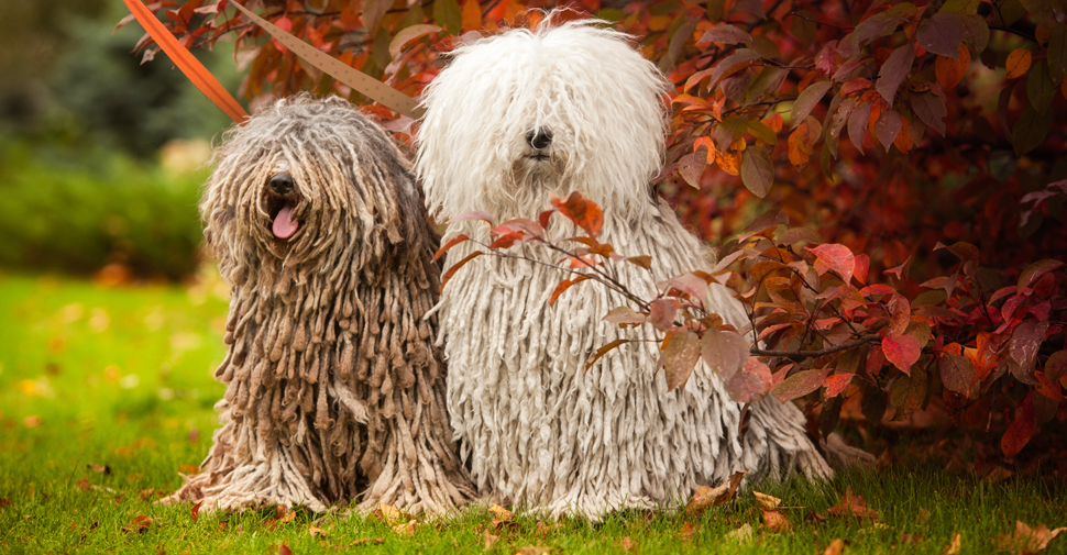 Two color varieties of the corded, hypoallergenic Puli breed of dog sitting in a park in fall.