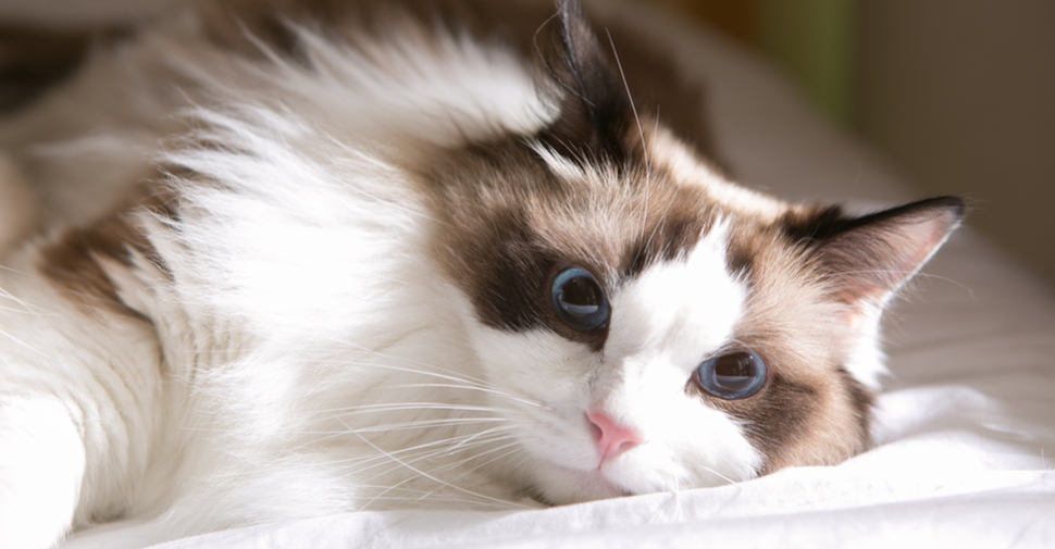 Fluffy Ragdoll cat, lying on a bed.