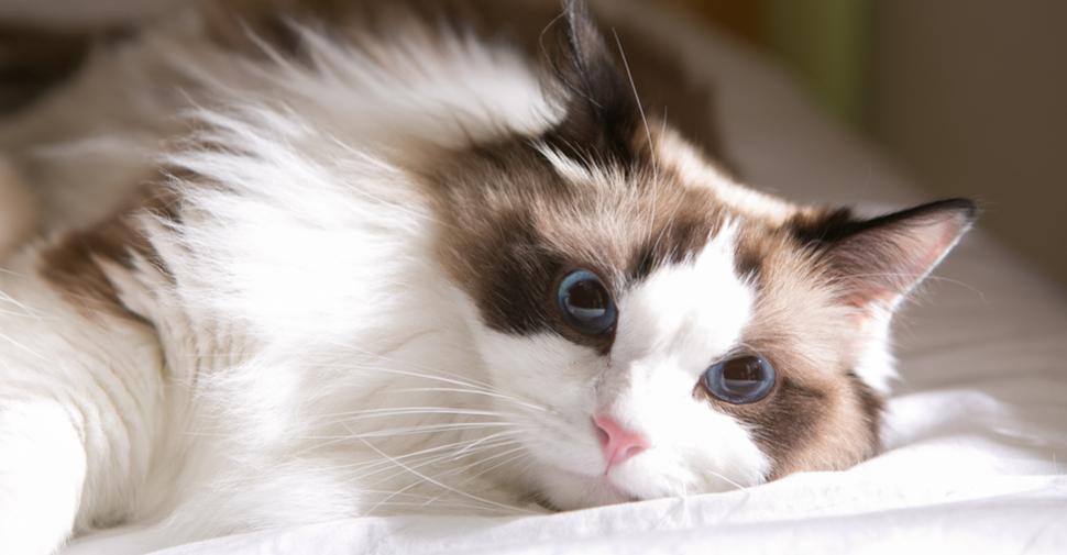 Fluffy Ragdoll cat, lying on a bed.